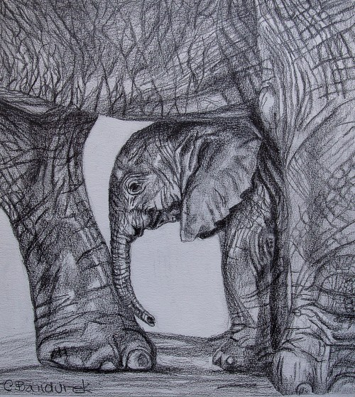 Elephants - Graphite drawings. Cynthia Bandurek