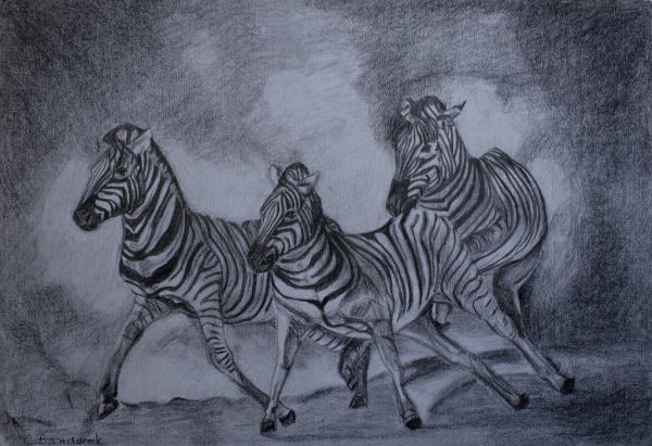 Graphite drawing. Zebras. Cynthia Bandurek