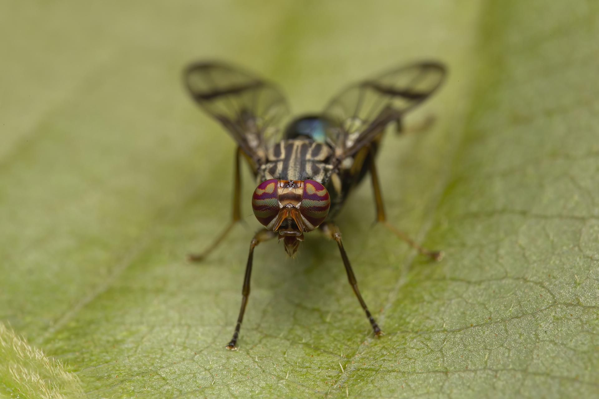 Fly - Diptera - Cynthia Bandurek