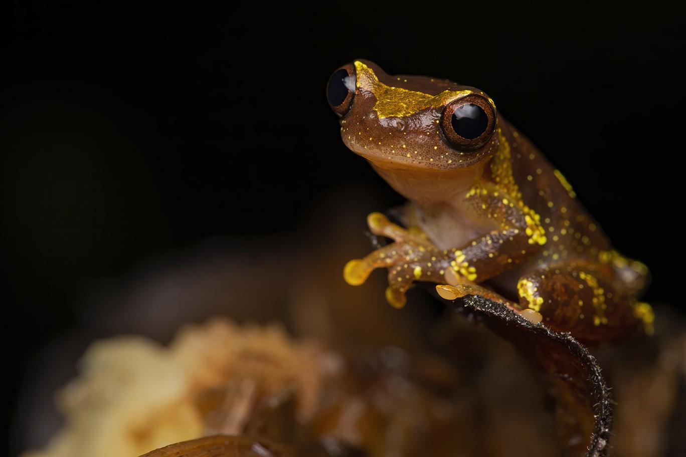 Dendropsophus saracuyensis - Cynthia Bandurek
