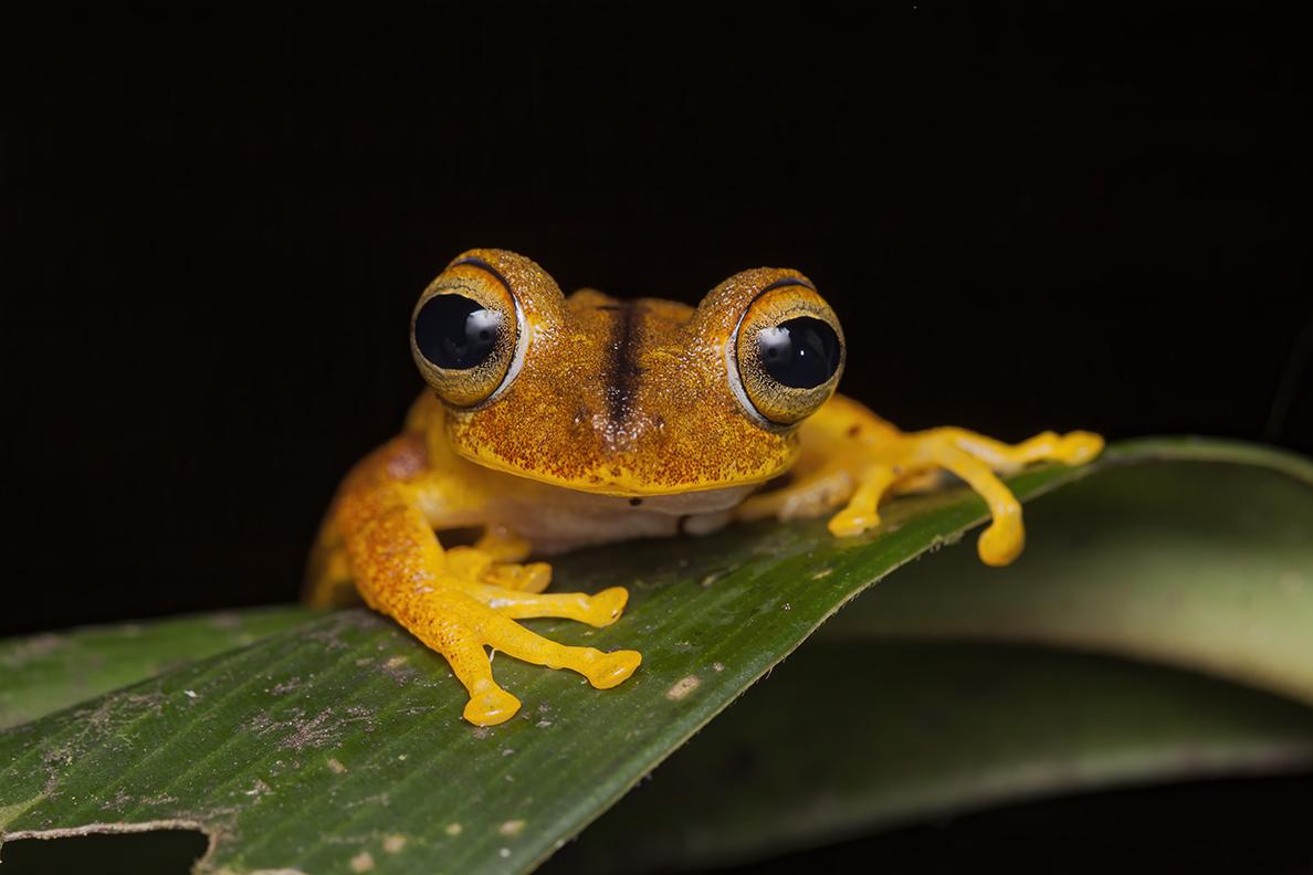 frog - Boana almendorizae - Cynthia Bandurek