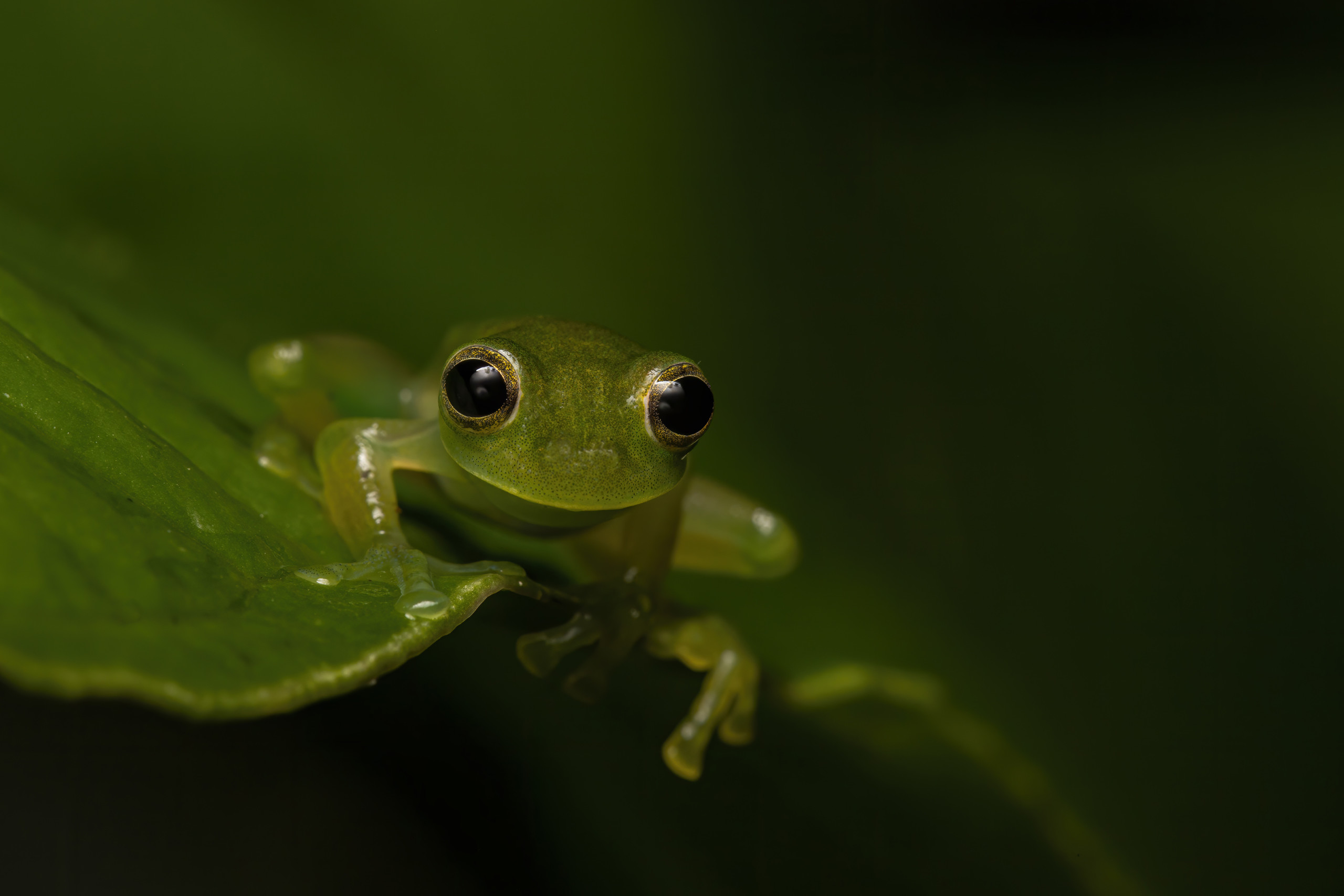 Crystal frog Esparadana prosoblepon - Cynthia Bandurek